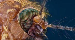 Бактерия против вирусов: как помешать комарам инфицировать людей?